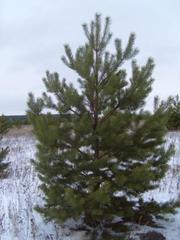 Продаем сосны новогодние живые пушистые (елки,  ели,  сосенки)
