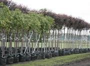 Саженцы деревьев и кустарников