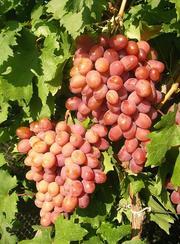 Саженцы столового винограда привитые
