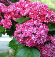 Crataegus laevigata Paul`s Scarlet-боярышник с красными или розовыми с
