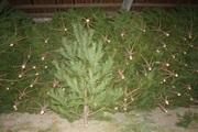 Живые,  зеленые Новогодние сосны елки.