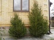 Живые новогодние елки (ель) оптом