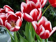 Тюльпаны оптом от голландских селекционеров к 8 Марта