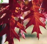 Саженцы дуба красного и дуба черешчатого 3-х,  5-ти летки