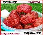 Рассада клубники новейшего крупноплодного  сорта Чамора Куруси -почтой