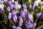 Крокусы – продажа цветов к 8марта.