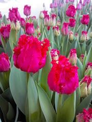 тюльпаны от производителя