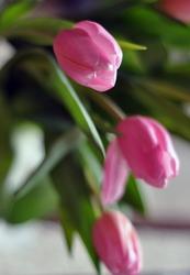 Тюльпаны к 8 марта в Краснорске