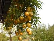 Вкусная экзотика  - Пепино  -  дынная груша