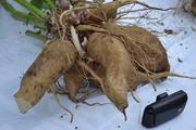 Якон  - сахароснижающее растение.