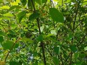 Крушина ломкая. медонос (саженцы)