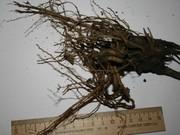 Эхинацея пурпурная (лекарственная) свежий корень на посадку