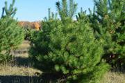 Продажа живых сосен оптом на новый год