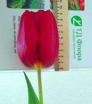 Тюльпаны оптом к 8 марта со склада в центре Новосибирска