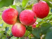 Саженцы и взрослые деревья яблони в Москве и Московской области