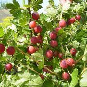 Саженцы плодовых кустарников по низким ценам