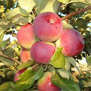 Крупномеры плодовых деревьев из Подмосковья